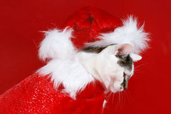 Cat dressed as Santa Claus. White cat with dark spots dressed as Santa Claus Royalty Free Stock Photography