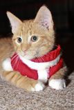 Cat Dressed Up for Christmas, Christmas Cat Royalty Free Stock Photo