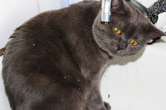 Cat drinking from faucet Royalty Free Stock Images