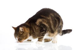 Cat drinking milk 1. Cat drinking milk, isolated on a white background royalty free stock photo