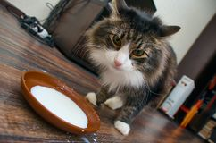 Cat drinking  milk. Adult  cat drinking saucer full of milk Stock Images