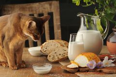 Cat Drinking Milk On Wooden Table Next To Goat Cheese With Condiments, Bread And Jug Of Milk. Royalty Free Stock Image
