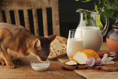 Cat Drinking Milk On Wooden Table Next To Goat Cheese With Condiments, Bread And Jug Of Milk. Stock Images