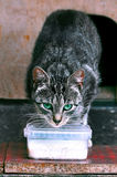 Cat Drinking Milk Outdoors Stock Image