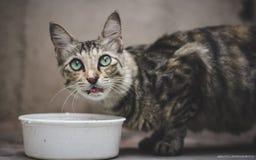 Cat Drinking Milk von der weißen Schüssel lizenzfreie stockfotos