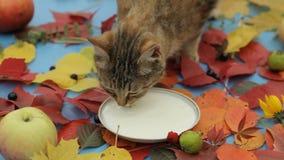 Cat drinking milk. stock video