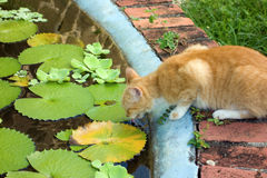A cat drinking from a pond in the caribbean Royalty Free Stock Photo