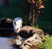 Cat drinking from pool in garden stock images