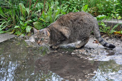 Cat is drinking. The cat is drinking from the puddle Royalty Free Stock Image