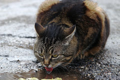 A cat drinking from a rain puddle Royalty Free Stock Photos