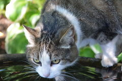 Cat Drinking From The Fountain. A tabby cat drinks from a birdbath Stock Image