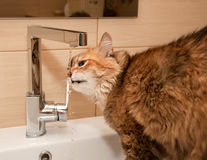 Cat drinking water Royalty Free Stock Image