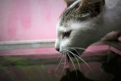 Cat Drinks From Aquarium Fotos de archivo libres de regalías