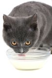 Cat. Drinks milk on a white background Stock Image