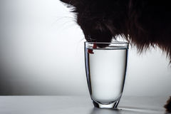 Cat drinks water from glass Stock Images