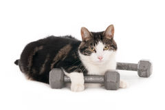 Cat with dumbbells Royalty Free Stock Image