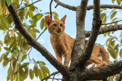 Cat on durian tree Royalty Free Stock Image