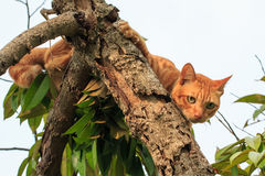 Cat on durian tree Stock Photo