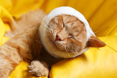 Cat ear ache with bandage Royalty Free Stock Images