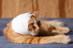 Cat ear ache with bandage Royalty Free Stock Photography