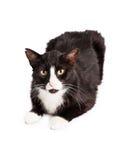 Cat With Ear Tipped preto e branco imagens de stock royalty free