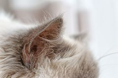 Cat ears on blurred background. Closeup Stock Images