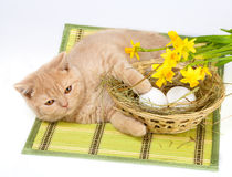 Cat and easter eggs. Little cream cat lying near basket with eggs stock photography