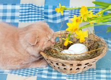 Cat and easter eggs. Little cream cat lying near basket with eggs royalty free stock photo