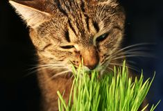 Cat eathing grass stock images