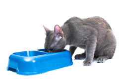 Cat eating. A Russian blue cat eating - isolated on white Stock Photos