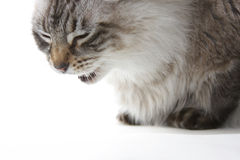 Cat eating. Long haired cat eating against white royalty free stock images