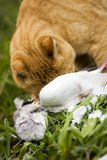 Cat eating bird Royalty Free Stock Photo