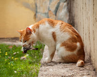 A cat eating a bird it has caught. A bird in cat`s mouth.  Royalty Free Stock Photography
