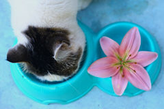 Cat eating from blue bowl with pink lily royalty free stock photo