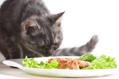 Cat eating chicken wings. Beautiful Scottish young cat eating chicken wings royalty free stock images