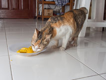 Cat Eating Corn. On Plate Stock Image