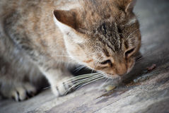 Cat eating Stock Photography