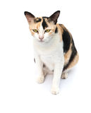 Cat eating dry cat food Royalty Free Stock Image