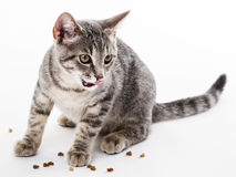 cat eating dry food for cat Stock Image