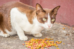 Cat eating Royalty Free Stock Photos