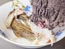 Cat eating fish with  good appetite. Gray adult pretty cat eating part of fish with great appetite Royalty Free Stock Photos