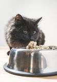 Cat eating in the floor Stock Photography
