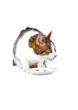 Cat eating from the food bowl Royalty Free Stock Photo
