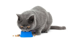 Cat eating food from a bowl isolated on white background Royalty Free Stock Image