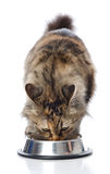 Cat eating  food. isolated on white Royalty Free Stock Photos