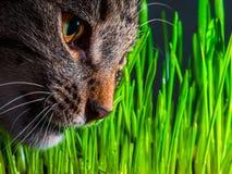 Cat eating fresh grass close up. Shot Stock Photos