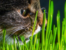 Cat eating fresh grass close up. Shot Royalty Free Stock Images