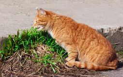 Cat eating fresh young grass Royalty Free Stock Images
