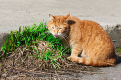 Cat eating fresh young grass Stock Images
