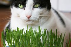 Cat eating grass Royalty Free Stock Image